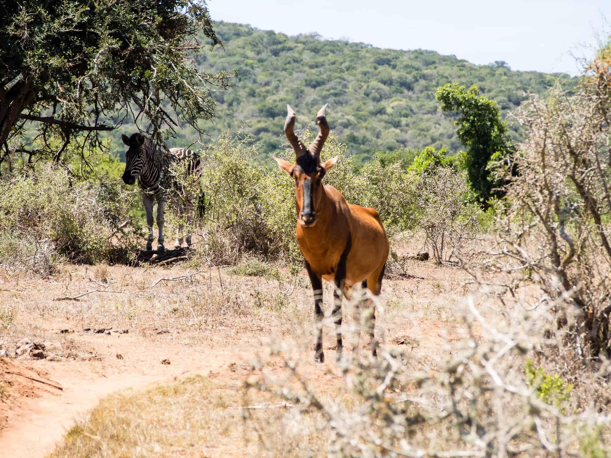 Zebra im Addo Elephant Park