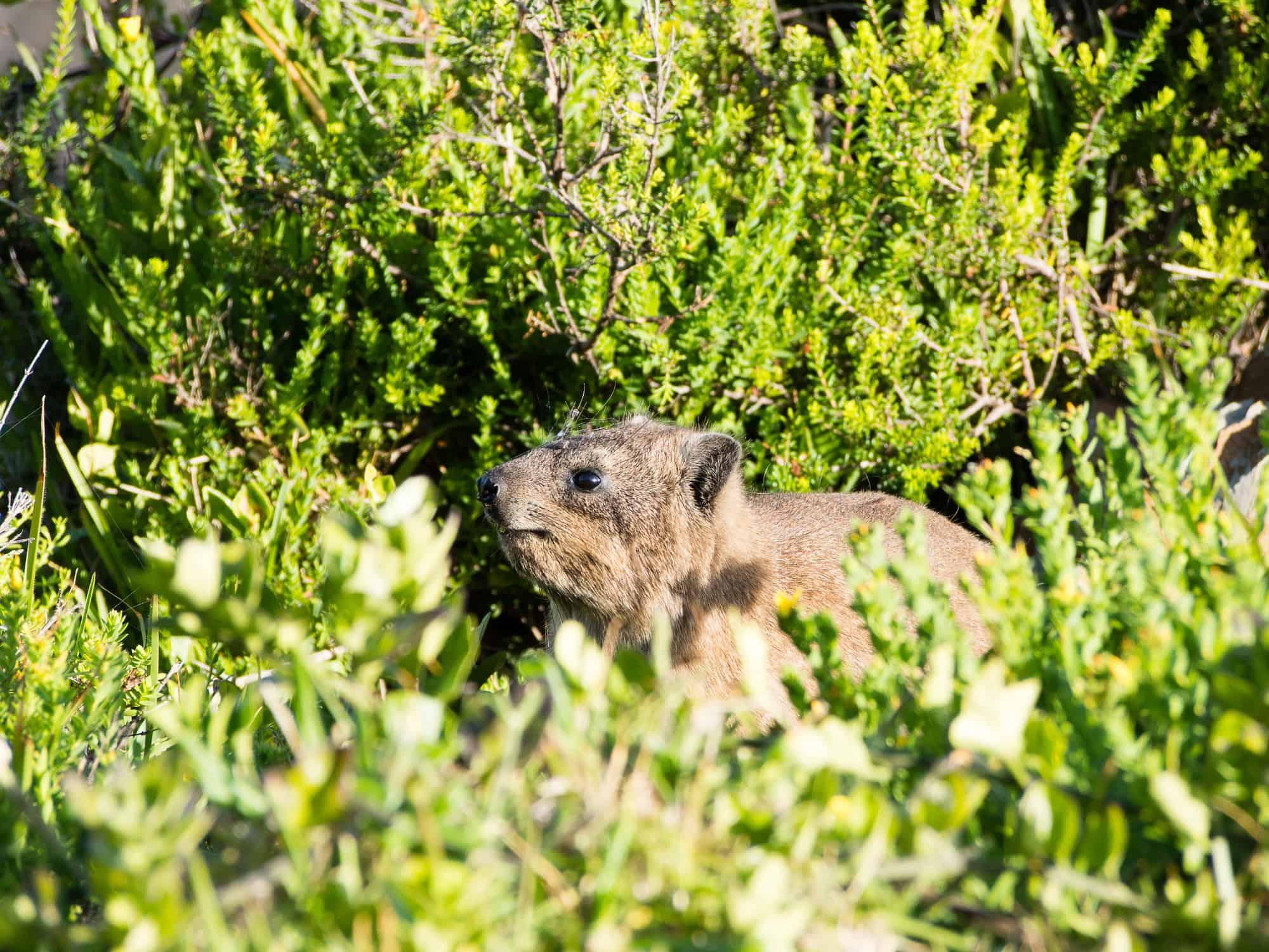 Dassie im Tsitsikamma Nationalpark