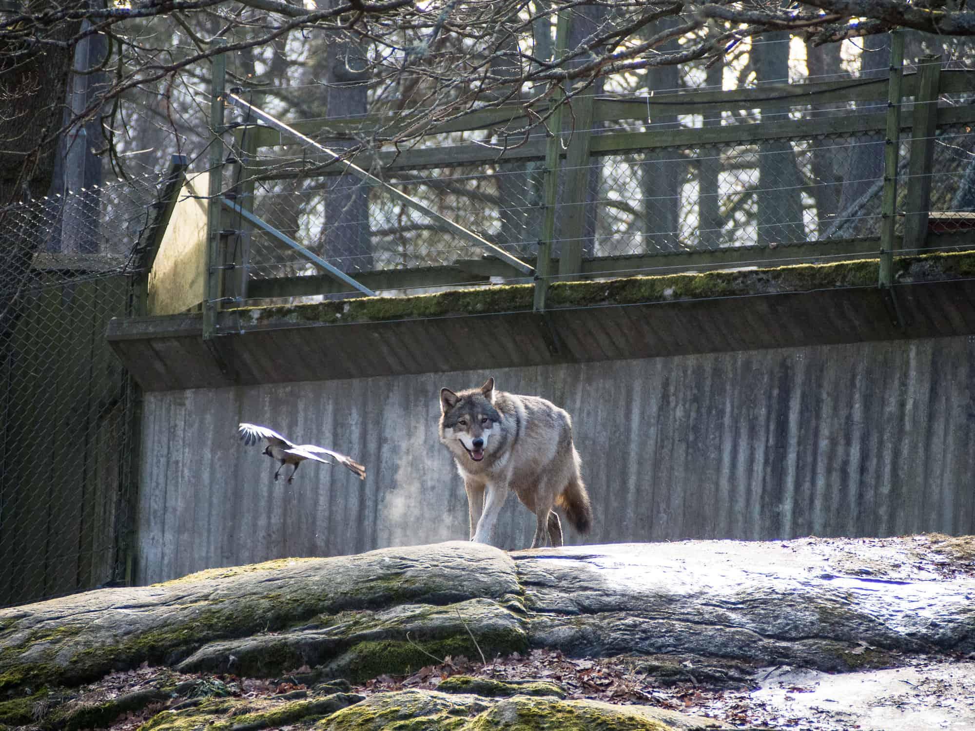Wolf in Skansen in Stockholm