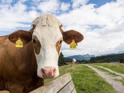Kuh schaut in Kamera auf der Winklmoosalm in Reit im Winkl