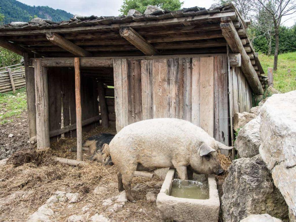 Schwein im Markus Wasmeier Museum am Schliersee