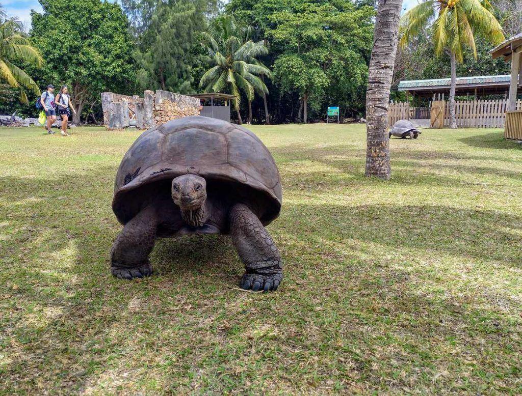 Riesenschildkröte auf Curieuse Seychellen