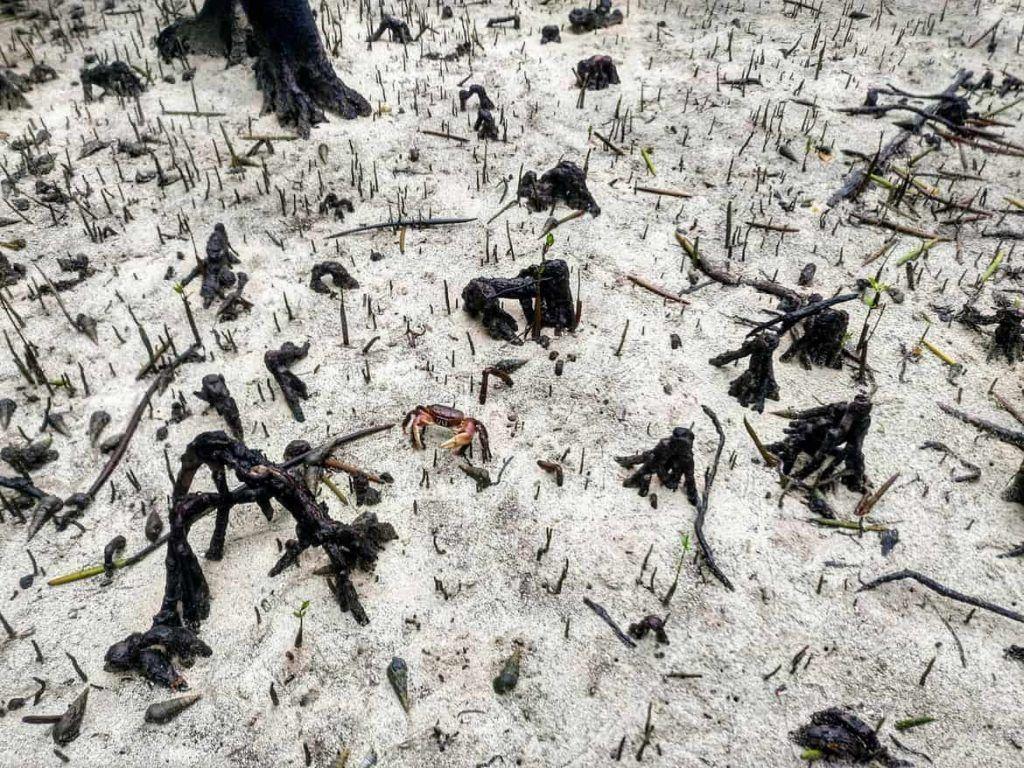 Krabbe auf Curieuse Seychellen