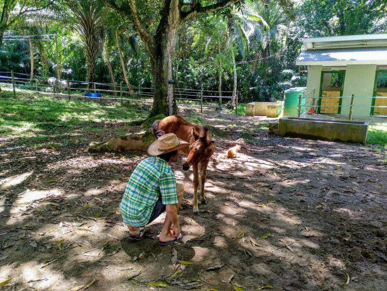 Fohlen bei Turquoise Horse Trails auf Mahe Seychellen