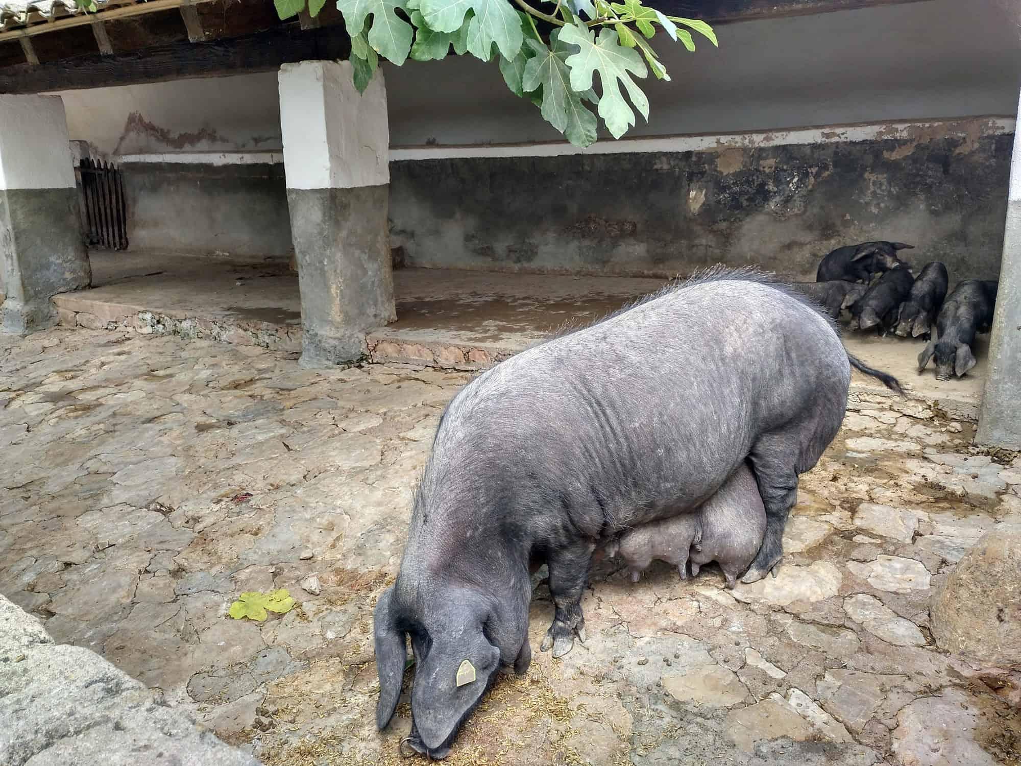 Schwein im Els Calderers auf Mallorca