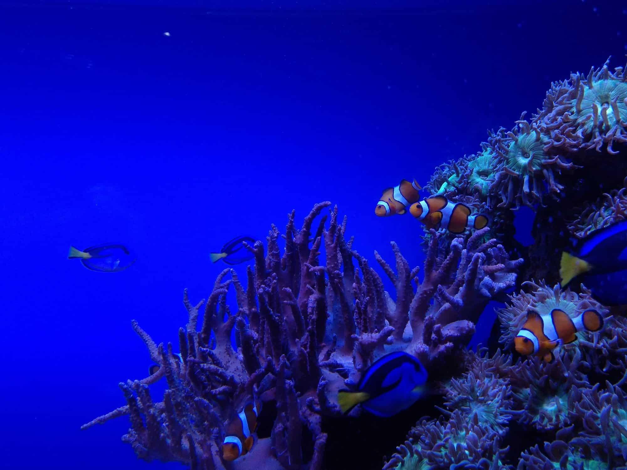 Clownfische im Aquarium auf Mallorca