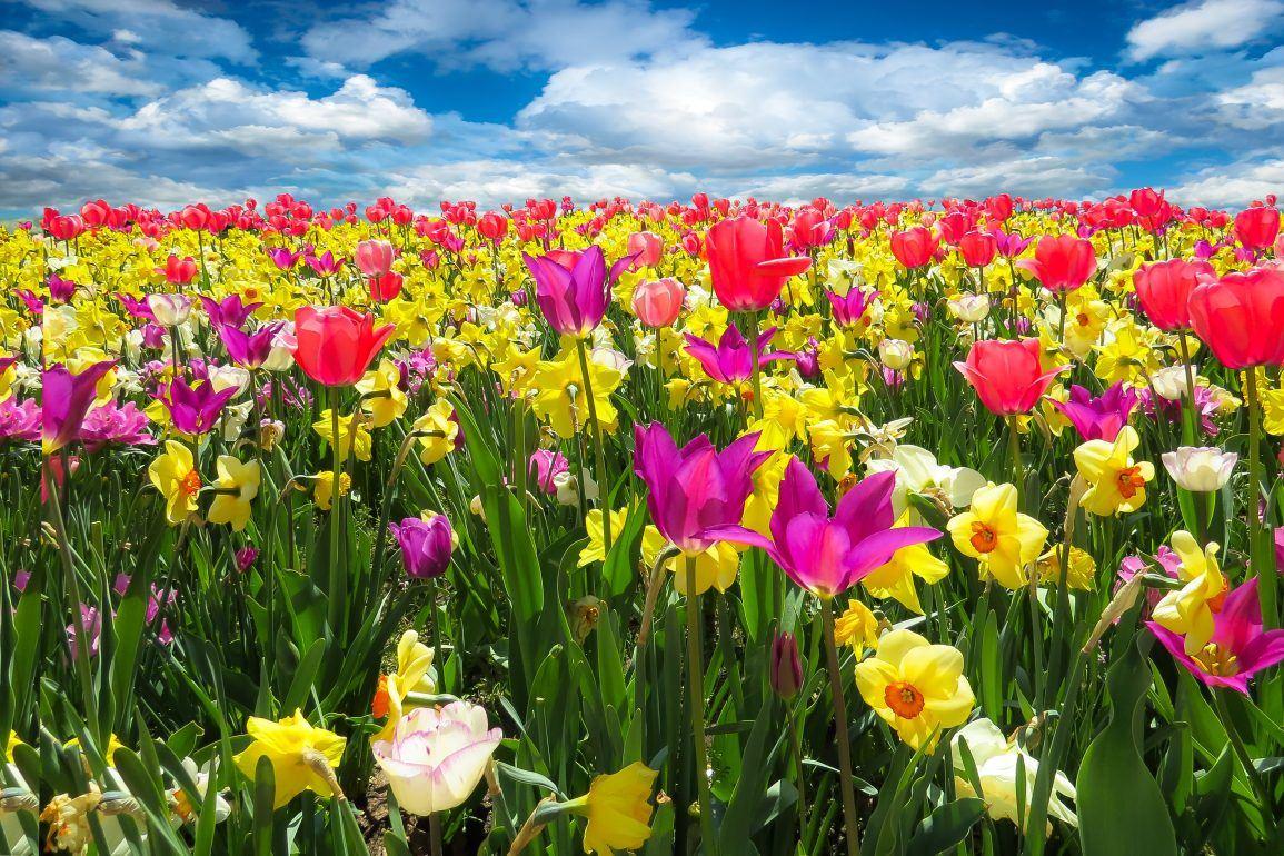 Blumenfeld im Frühling