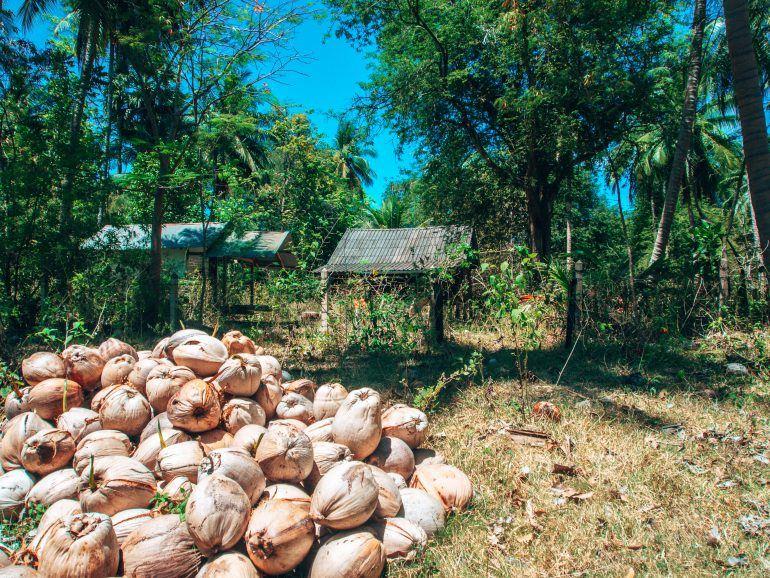 Kokosnüsse auf Koh Tan Thailand