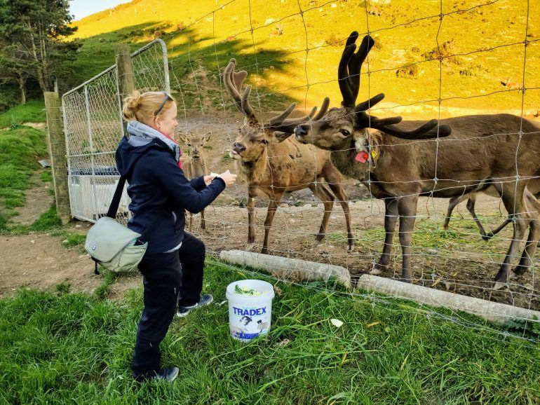 Hirsche füttern Wellington Neuseeland