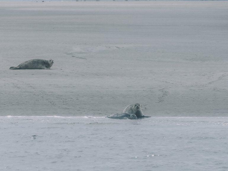 Seehunde Nordstrand Deutschland